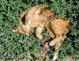 Erba gatta per appassionati di gatti for Erba gatta effetti