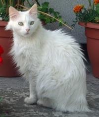 gatto-angora-turco