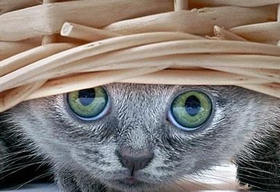 gatto-sotto-il-cesto