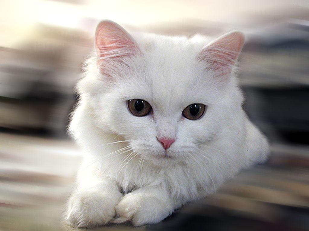 gatto-bianca-1024x768