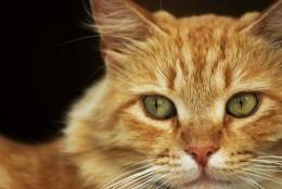 gatto-rosso-e1377022129691