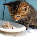 gatto-non-mangia-comportamenti-del-gatto (1)