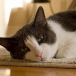 gatto-problemi-comportameti-del-gatto