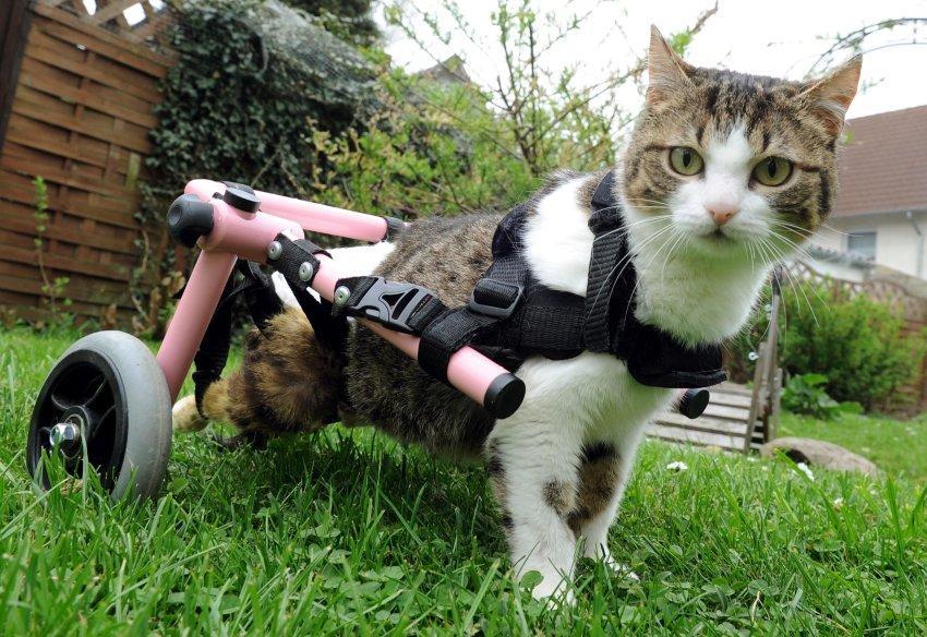 Una gatta con sedia a rotelle adotta dei gattini per for Sedia a rotelle per gatti
