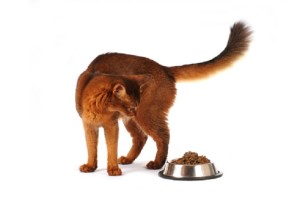 Somali cat with full bowl isolated on white