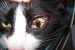 Nevo-irideo-in-un-gatto