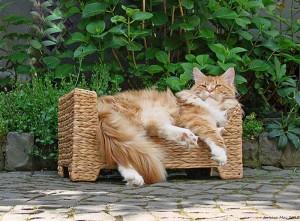 Il-gatto-maine-coon-regale-maestoso
