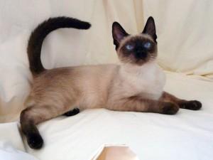 gato-siames-de-exposicion