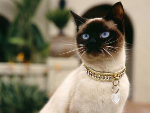 gato-coleira