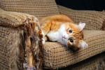 gatto-cat-stress-graffi-scratches-sofa