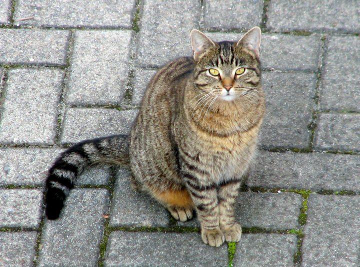 Gatto Europeo Per Appassionati Di Gatti