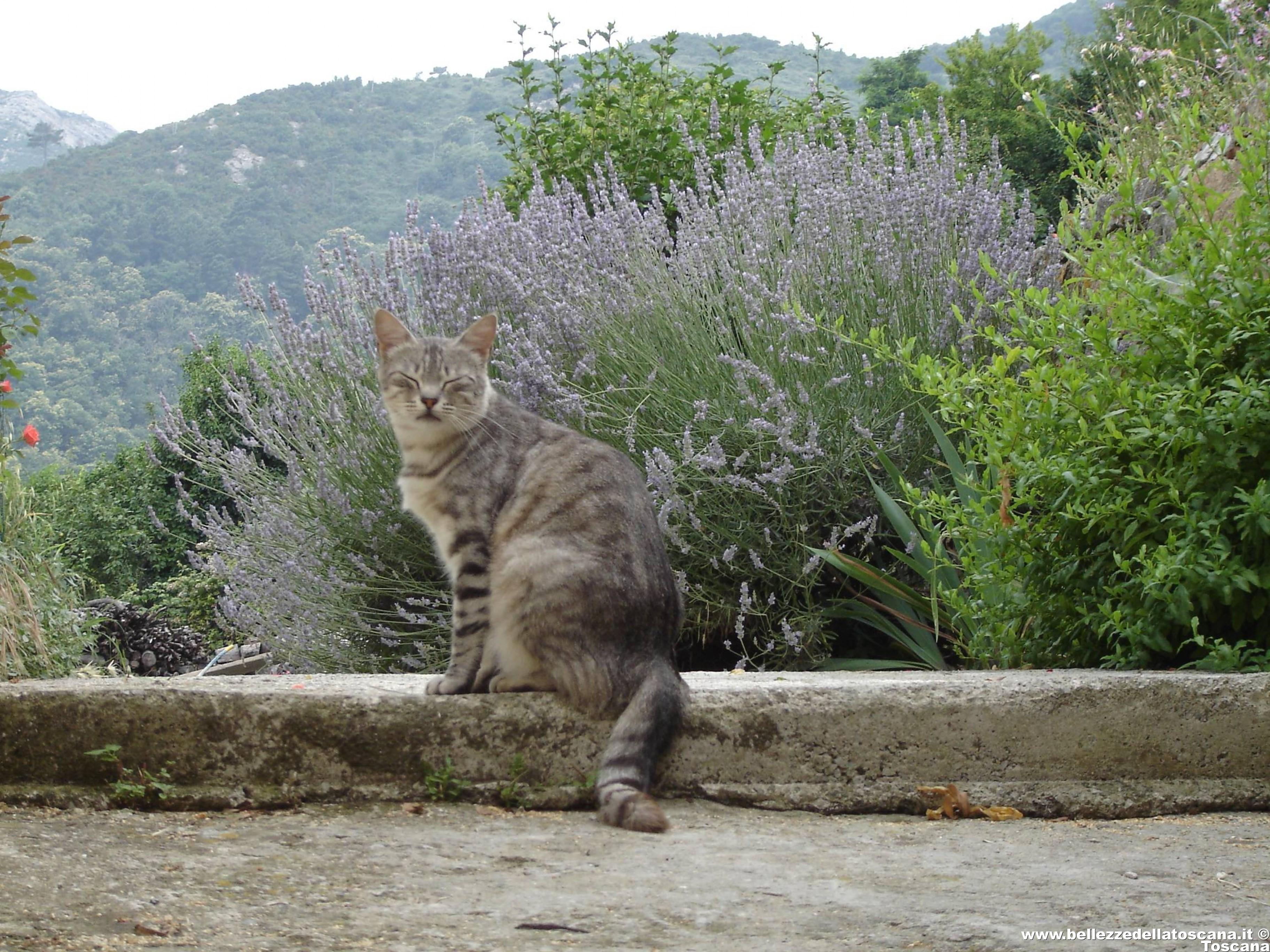 Gatto tigrato con lo sfondo di cespugli di lavanda a Marciana - Fotografia Isola d'Elba