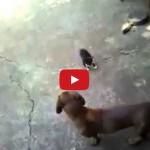 Mamma gatta difende un gattino da un cane .. sembra una tigre scatenata.
