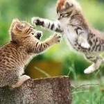 perché i gatti che sono di casa, litigano spesso tra di loro.