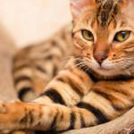 Il gatto non è e non sarà mai un animale domestico