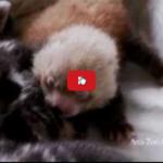 In Olanda una mamma gatta soriana adotta un bebè di panda minore (panda rosso)