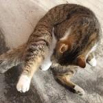 Perché il gatto si lecca il pelo dopo essere stato accarezzato?