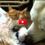 Cane assiste la gatta a partorire