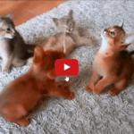 Splenditi cuccioli di gatti abissino