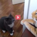 Gatto impavido da una bella lezione a un tigre