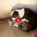 Un Pitbull adotta un gattino incontrato per strada.