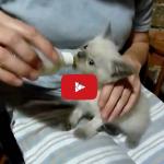 Questo cucciolo di gatto vuole il suo biberon.