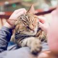 I gatti sentono il dolore del loro umano