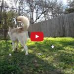 Husky fa da baby sitter a un gattino