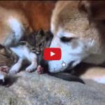 Gattini accuditi da una coppia di cani