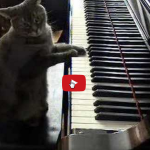 Il gatto con la passione del pianoforte