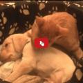 Il gatto si prende cura del suo piccolo fratellino