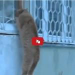 Gatto romantico salta sulla finestra per vedere la sua amata