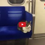Tokio: Un gatto tutti i giorni mattina e pomeriggio prende la metropolitana