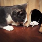 Perché il gatto porta le prede in casa