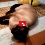 Come far scendere il gatto dal tavolo