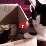 Papà gatto assiste alla nascita dei suoi gattini