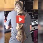 Con due gatti appesi alla schiena mentre prepara la colazione