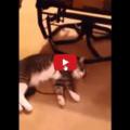 Gatto si finge morto pur di non indossare un collare