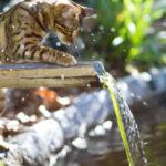 10 razze di gatti che amano acqua.