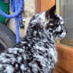 Il gatto Scrappy con la vitiligine sembra un'opera d'arte