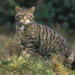Gatto selvatico, meraviglia della natura: ecco come riconoscerlo e dove trovarlo