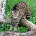 Scozia, filmato un raro esemplare del gigantesco gatto selvatico della foresta.