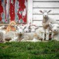 Steve l'unico gatto pastore al mondo