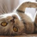 Perché i gatti si rotolano per terra e ci mostrano la pancia ?
