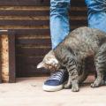 Perché I gatti molto spesso camminano davanti alle nostre gambe a zig-zag