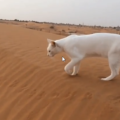 La camminata del gatto