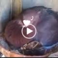 Una colomba adotta un gattino orfano e protegge come fosse suo