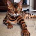 Thor, il gatto che sembra una tigre