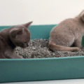 Due gatti in casa: stessa lettiera?