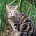 Carattere personalità e caratteristichedel gatto tigrato